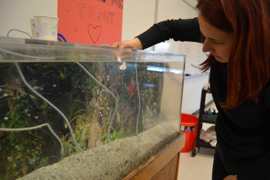 Science teacher Nadine Eisekolb places trout eggs in an aquarium as part of a program with the Environmental Club that hopes to end the recent decrease in the trout population. Credit: Sammi Handler/Chronicle